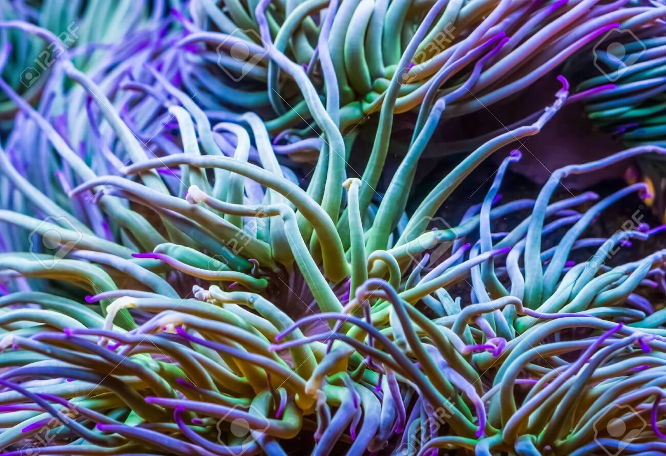 macro closeup of the tentacles of a Mediterranean snakelocks sea anemone, common tropical invertebrate specie, marine life background - 127970681