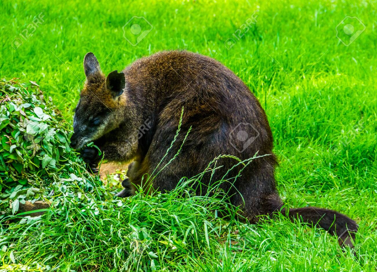 Swamp Wallaby Eating Plants In Closeup Popular Marsupial Specie Stock Photo Picture And Royalty Free Image Image 130817319