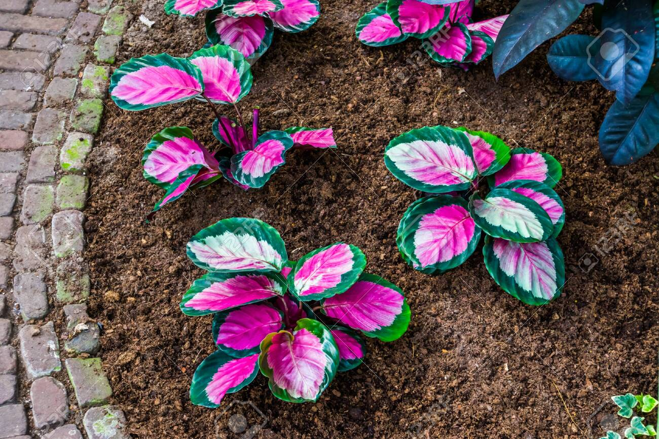 Pink Elephant Ear Plants In A Tropical Garden Popular Exotic Stock Photo Picture And Royalty Free Image Image 146920854