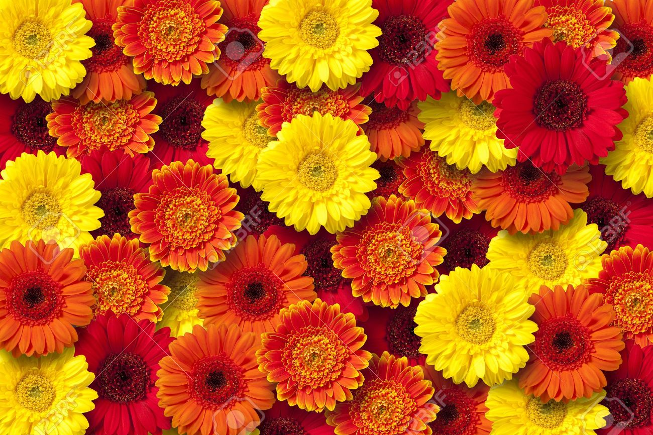 Red Orange And Yellow Daisy Floral Background Stock Photo Picture