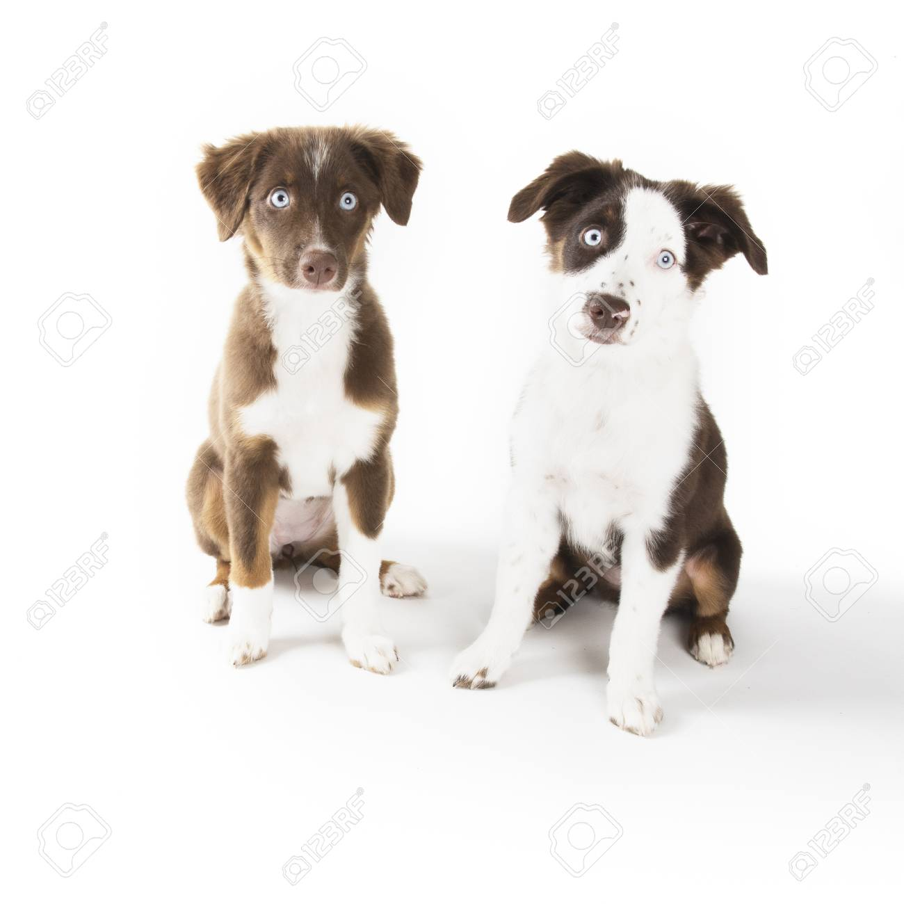 Two Cute Miniature Australian Shepherd Puppies Isolated On White Stock Photo Picture And Royalty Free Image Image 114273636