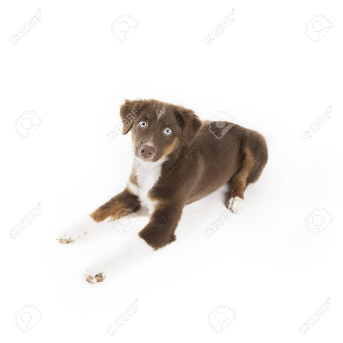 Cute Red Tri Miniature Australian Shepherd Puppy Isolated On Stock Photo Picture And Royalty Free Image Image 114273632