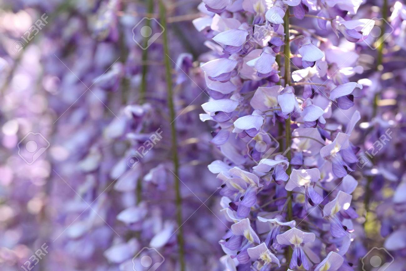 Closeup Background Of Wisteria Tree In Japan Stock Photo Picture And Royalty Free Image Image 57972444