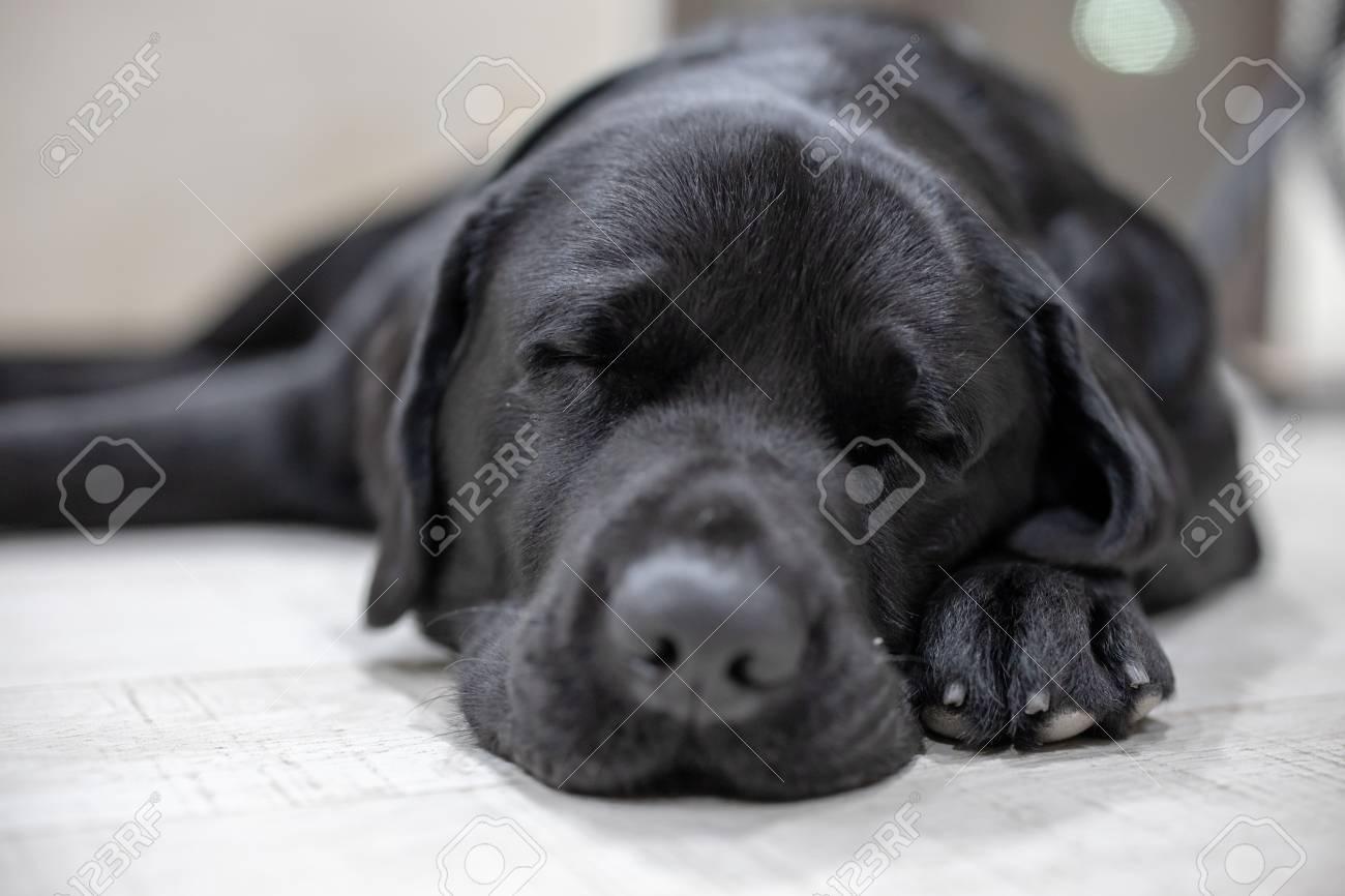 Sleeping Black Labrador dog - 126272029