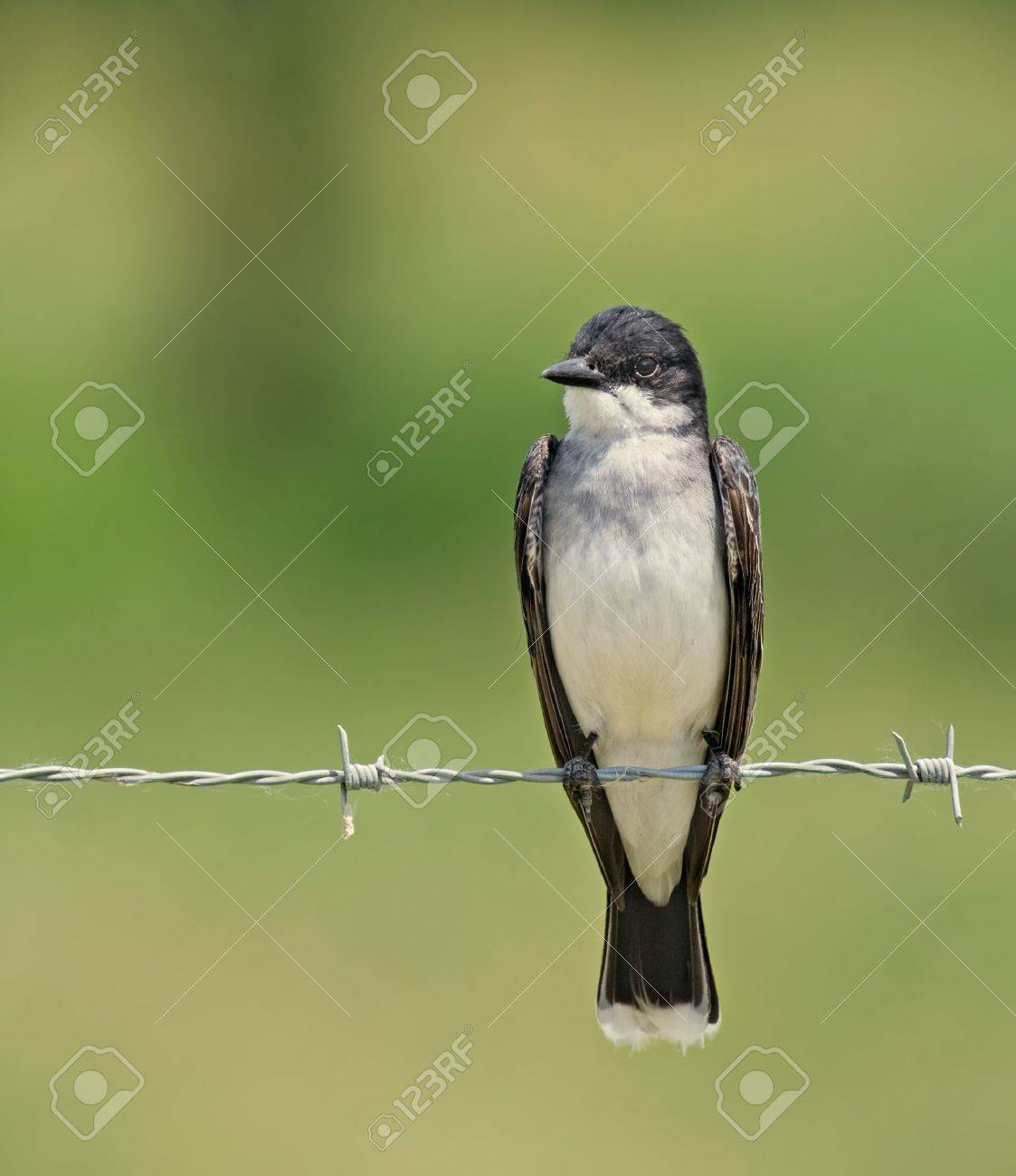 Eastern kingbird perched on a barbed wire fence Stock Photo - 3326683