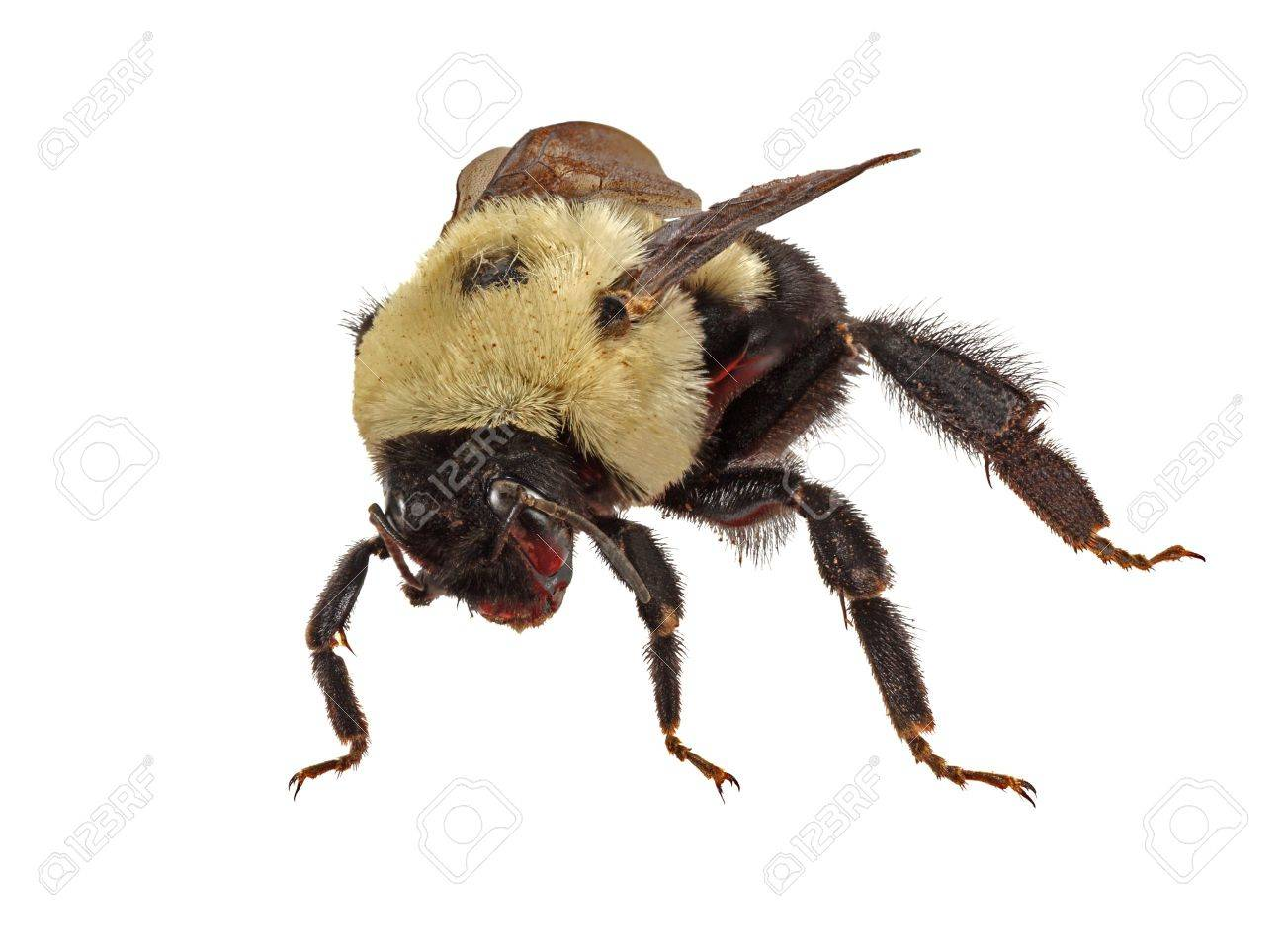 common eastern bumble bee bombus impatiens isolated on white