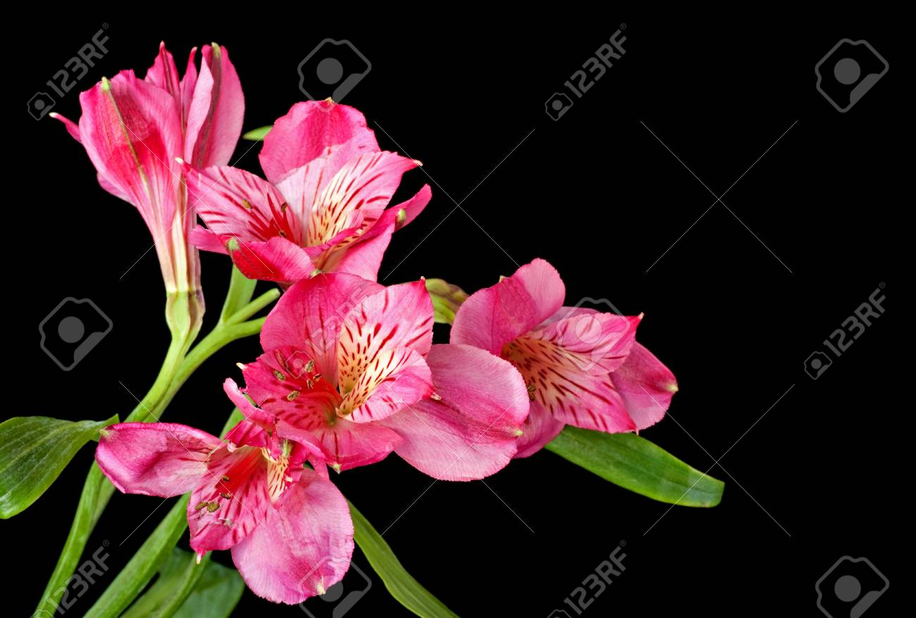 Peruvian Lily Alstroemeria On A Black Background Stock Photo Picture And Royalty Free Image Image 6667514