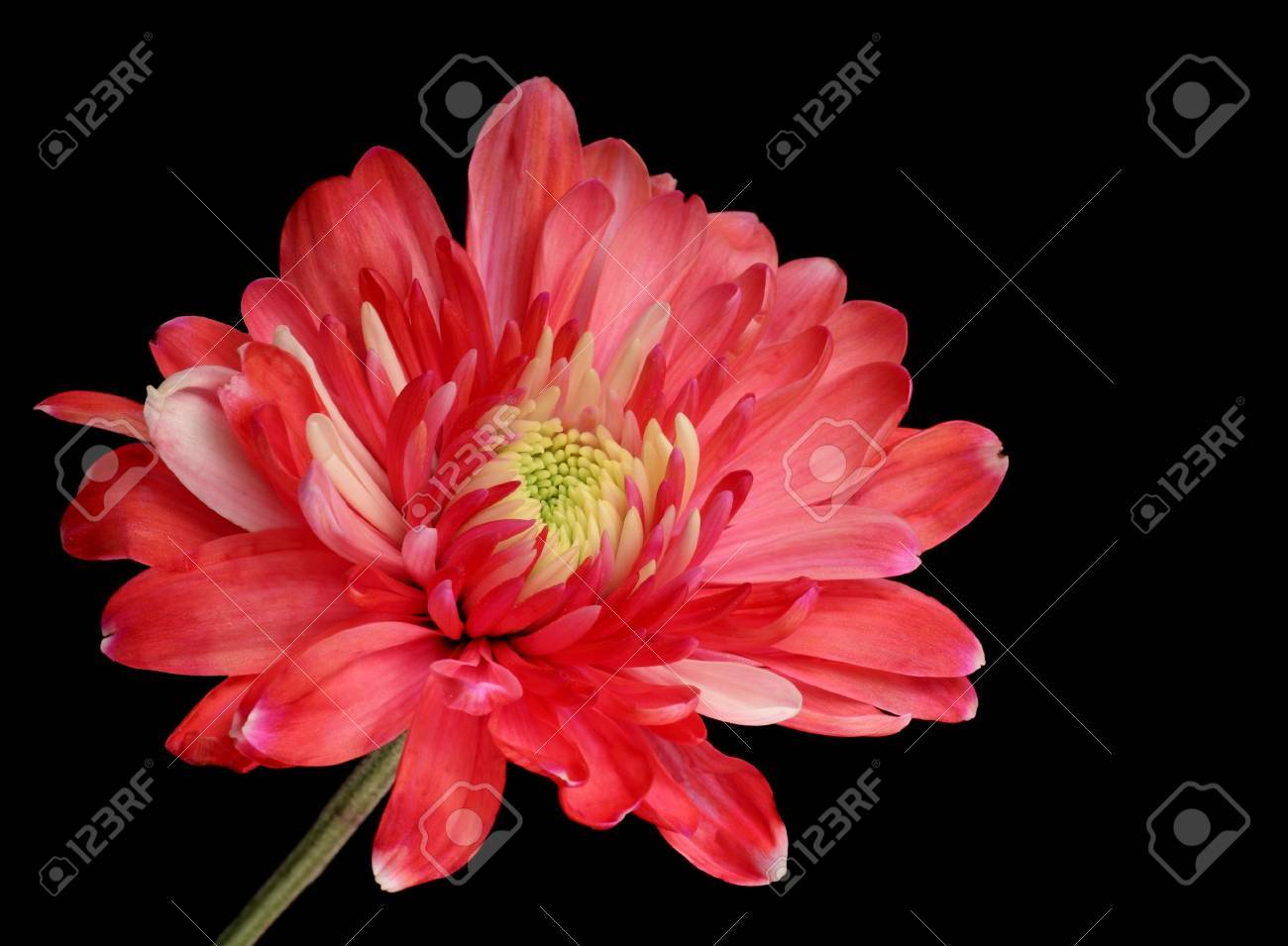 Red chrysanthemum isolated on a black background Stock Photo - 7266294