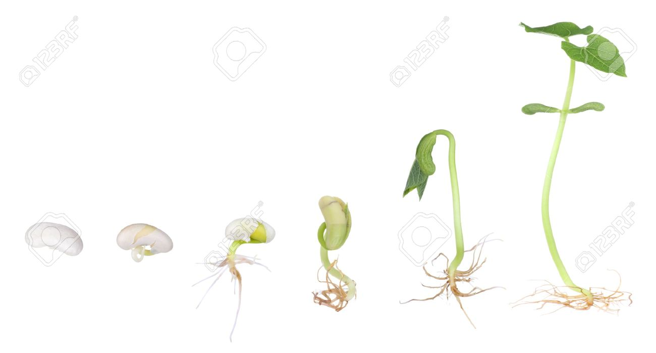 Bean plant growing from a seed to a seedling isolated on white Stock Photo - 8947405