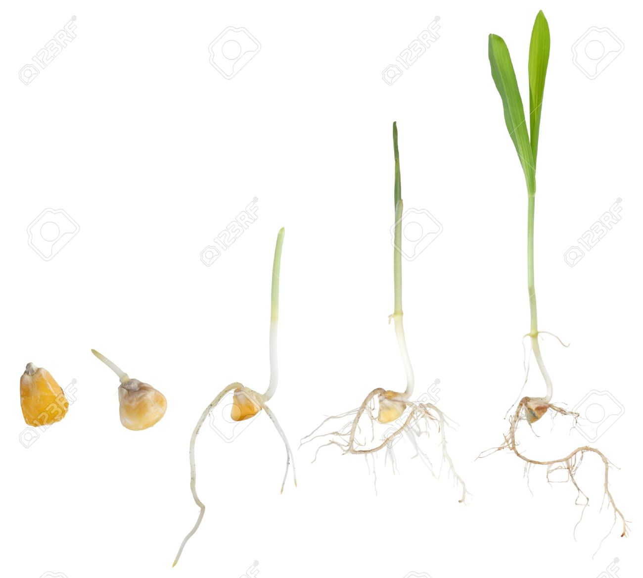 Corn plant growing from seed to seedling isolated on white Stock Photo - 9689759
