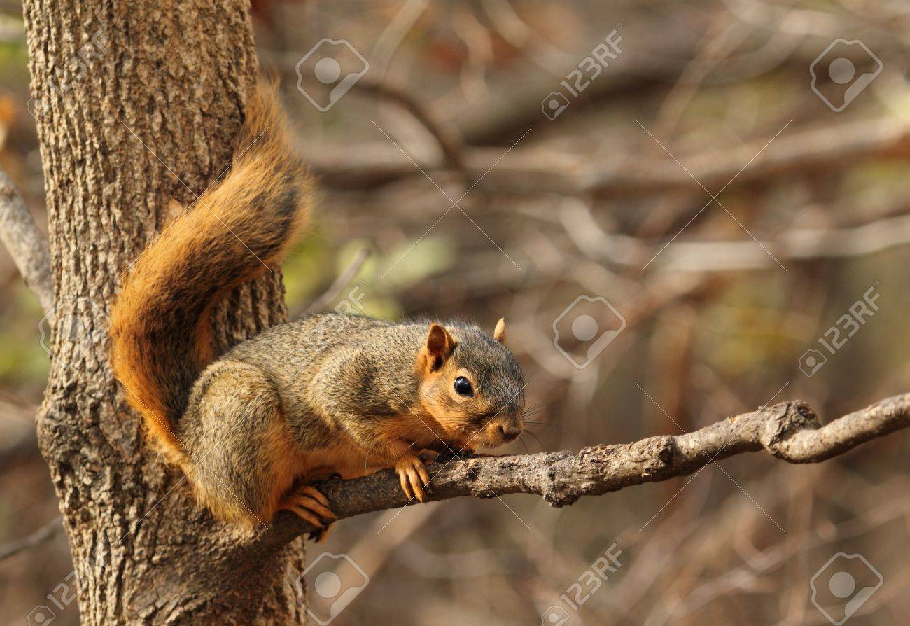 Eastern fox squirrel, Sciurus niger, on a tree branch Stock Photo - 17038205