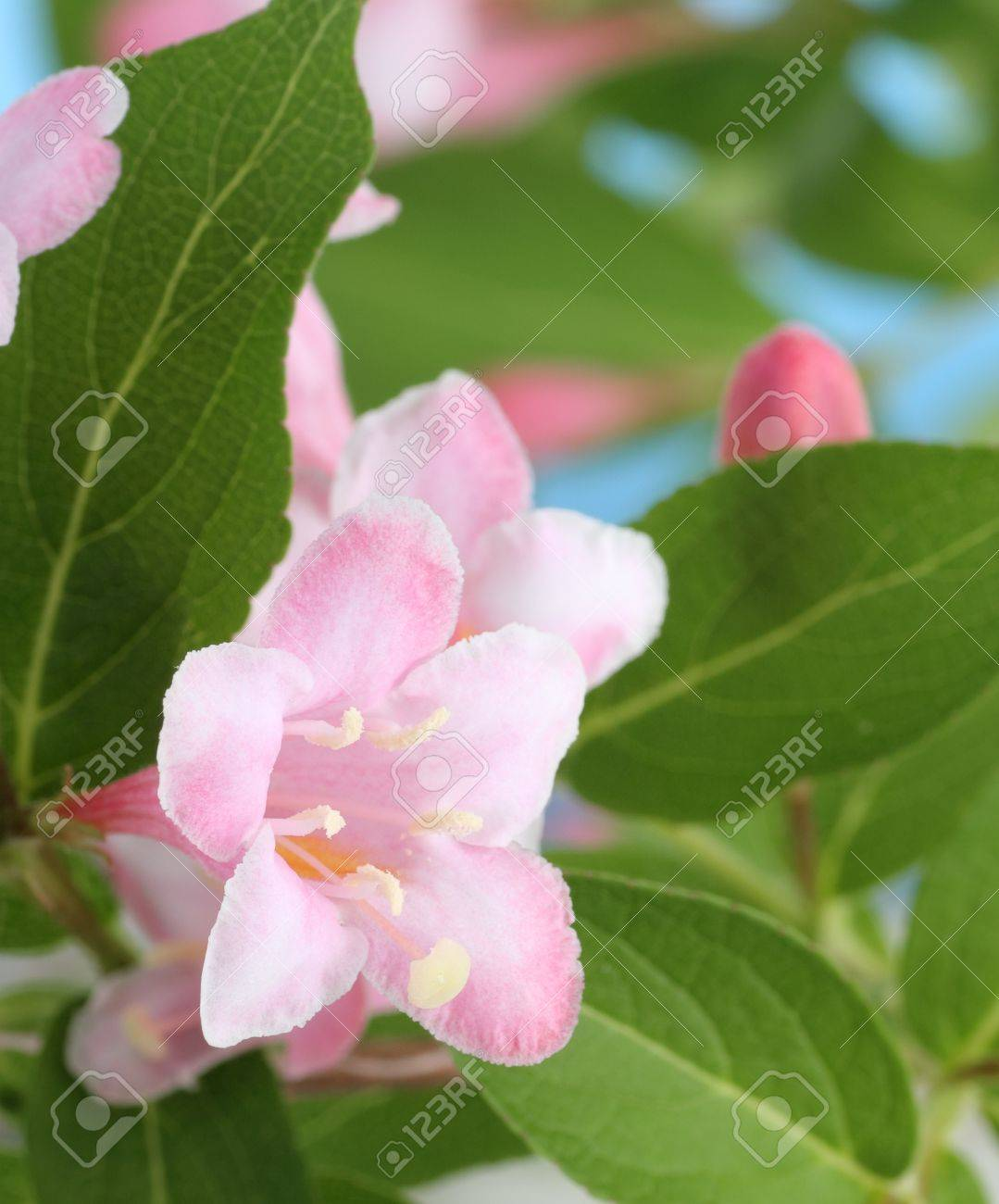 Pink Flowers Blooming On A Honeysuckle Bush Stock Photo Picture And
