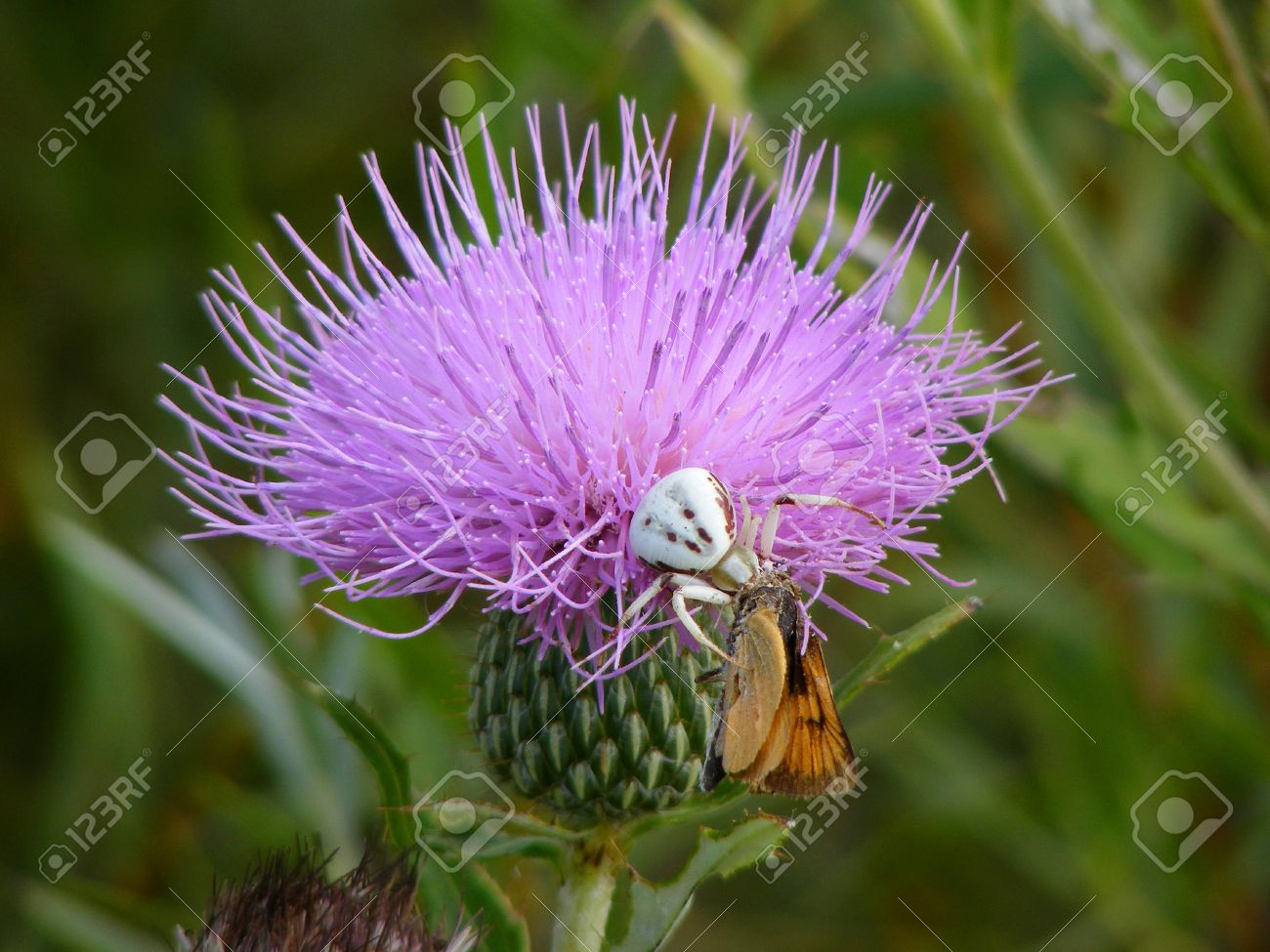 A white spider eating a butterfly on a purple thistle flower stock a white spider eating a butterfly on a purple thistle flower stock photo 10067196 mightylinksfo