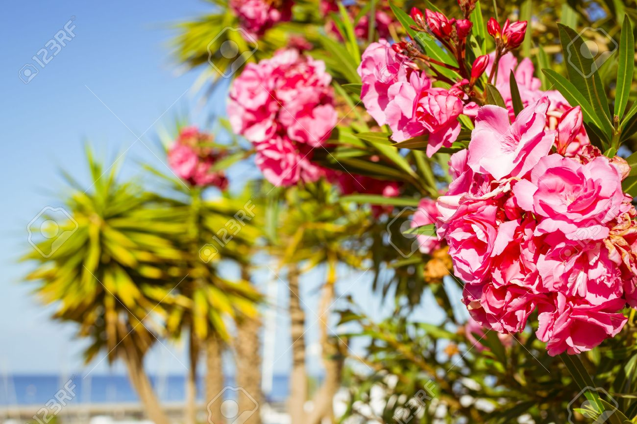 Tenerife Spain January 14 2013 Bright Pink Flowers On A Stock Photo Picture And Royalty Free Image Image 47754903