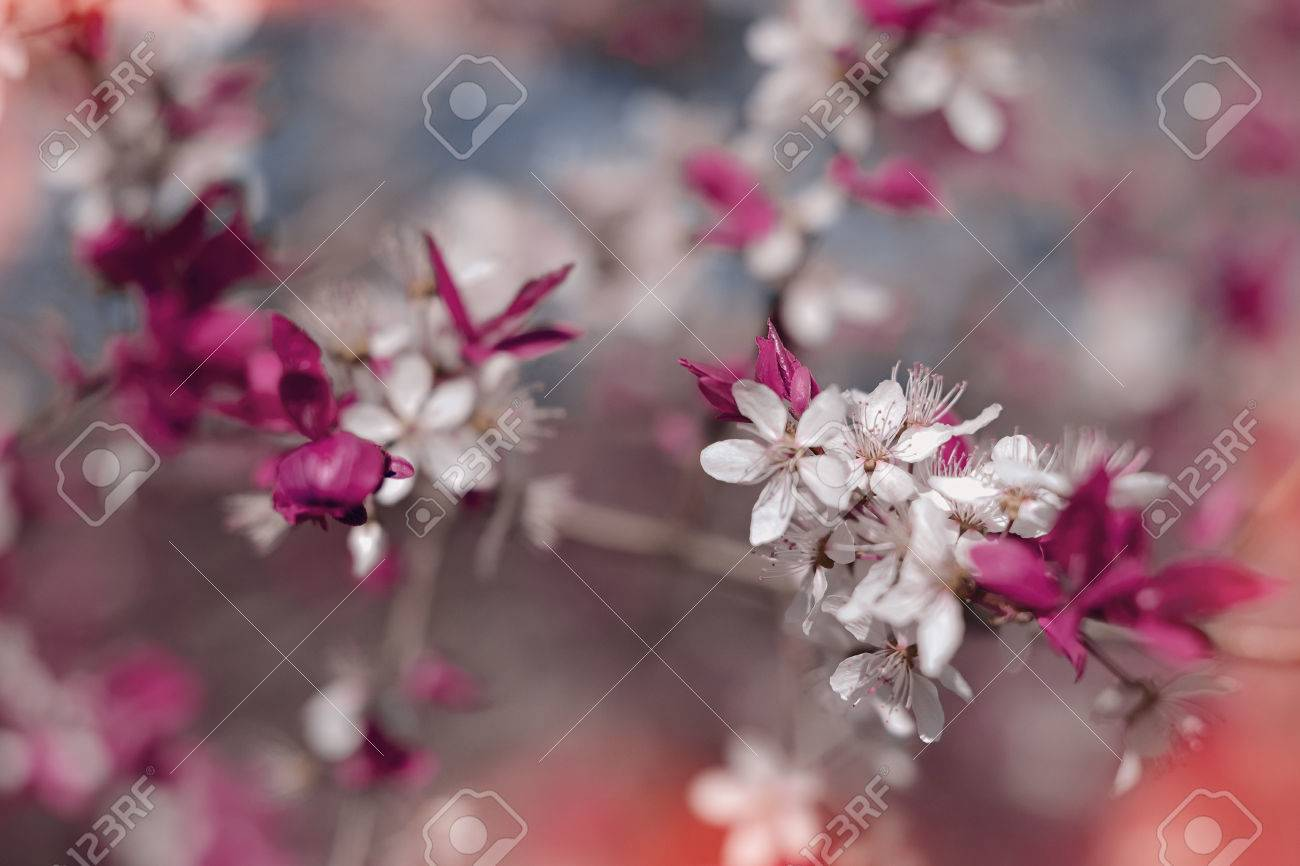 Spring Sakura Cherry Blooms In Soft Background Of Flowering Branches