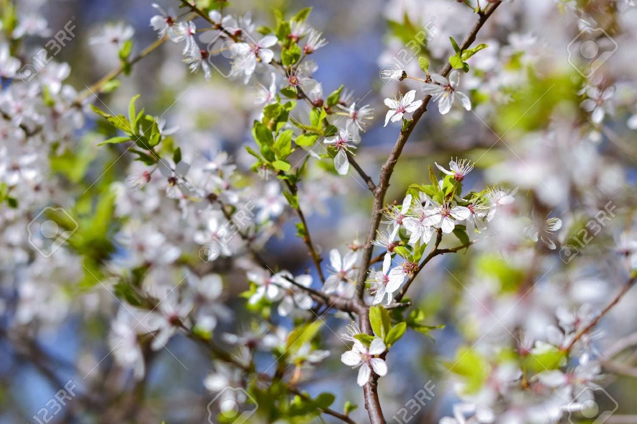 Hawthorn Blooms In Soft Background Of Flowering Branches And Stock