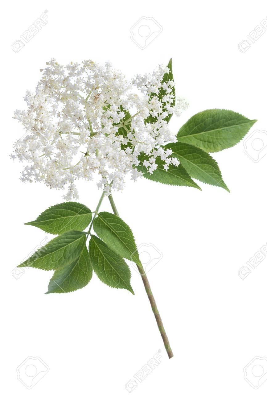 elder flower blossoms on white background - 83072681