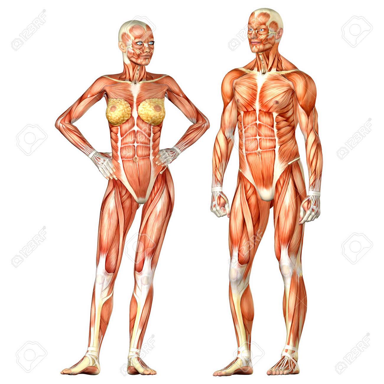 Illustration Von Einem Männlichen Und Weiblichen Anatomie Des ...