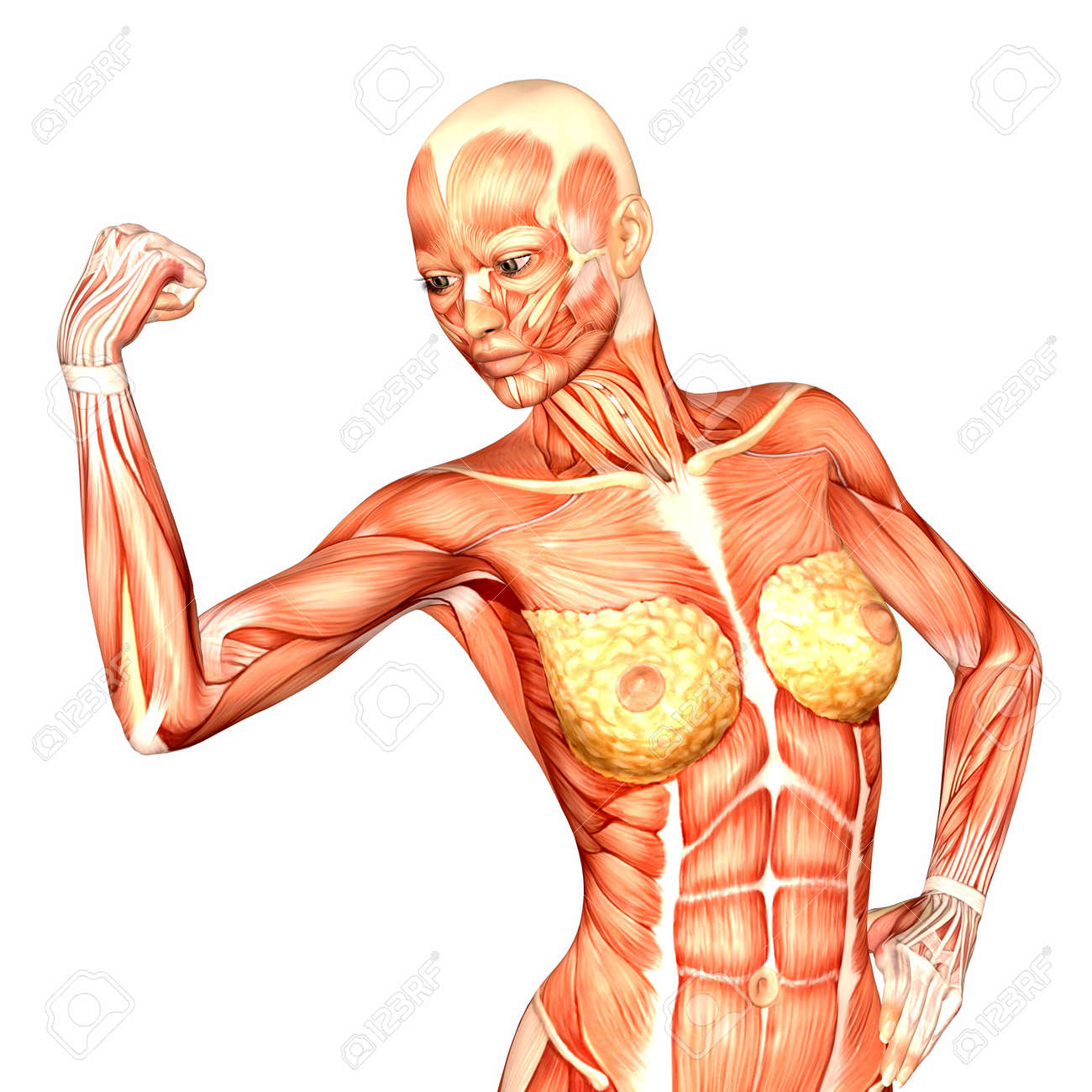 illustration of the anatomy of the female human upper body, Muscles