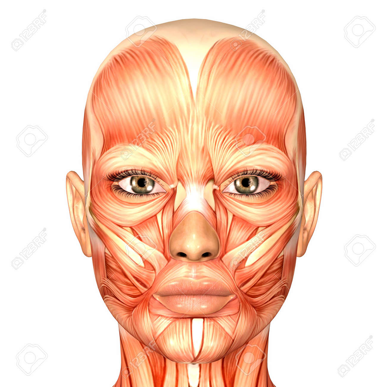 Illustration Of The Anatomy Of The Female Human Face Isolated