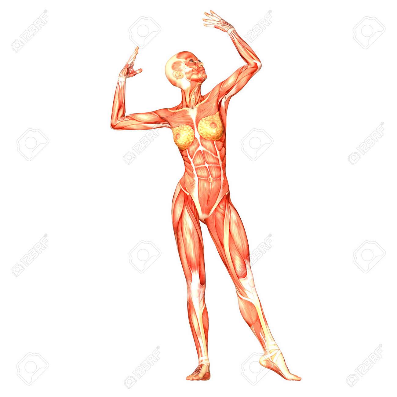 Illustration Der Anatomie Des Weiblichen Körpers Auf Einem Weißen ...