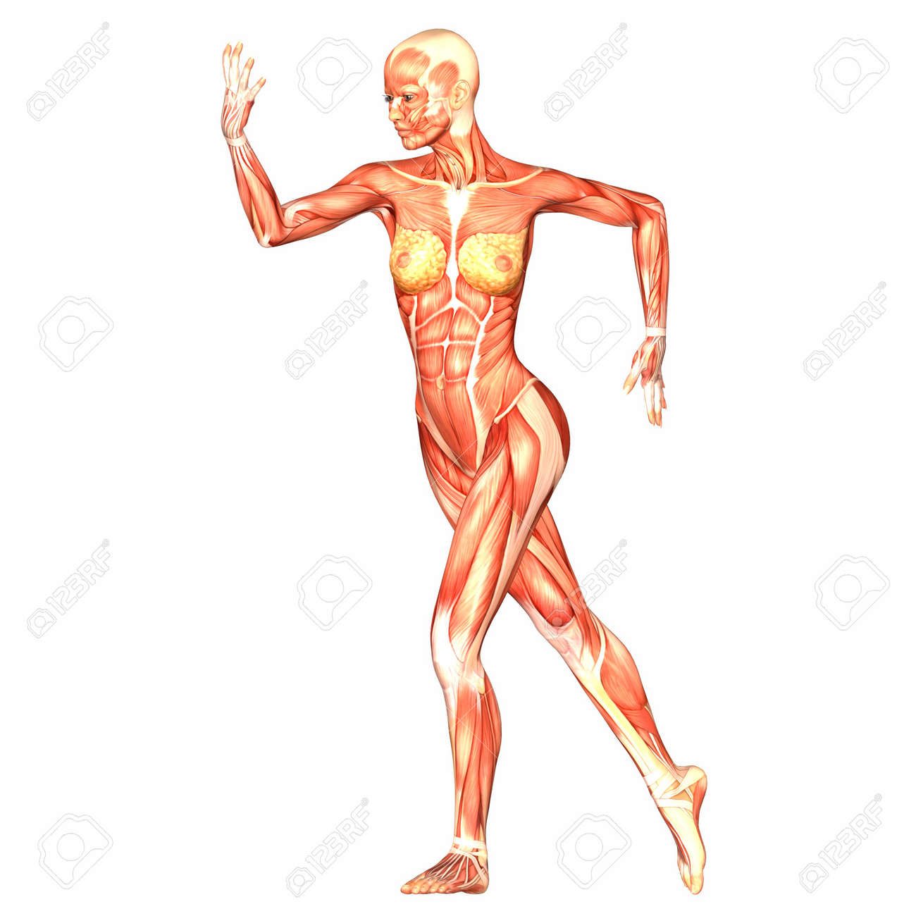 Illustration of the anatomy of the female human body isolated on a white background Stock Photo - 12741694