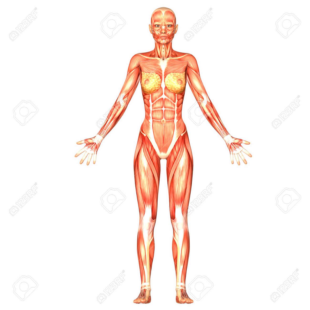 Perfecto Cuerpo Humano Mujer Motivo - Anatomía de Las Imágenesdel ...