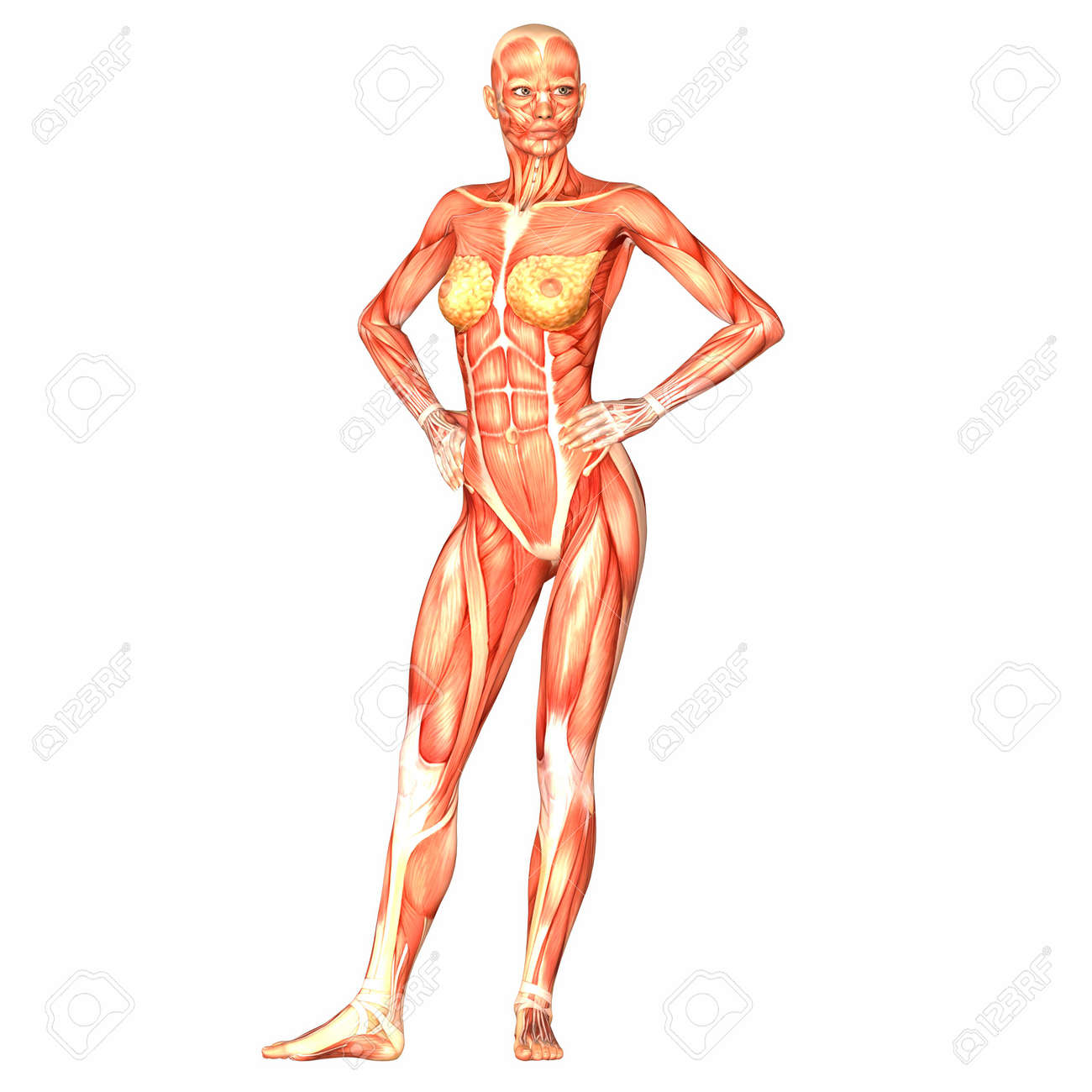 illustration of the anatomy of the female human body isolated, Muscles