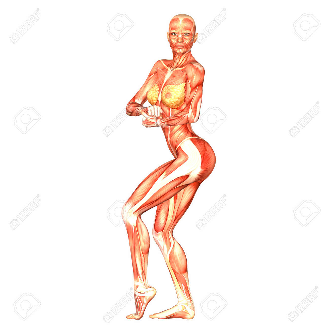 Illustration Of The Anatomy Of The Female Human Body Isolated