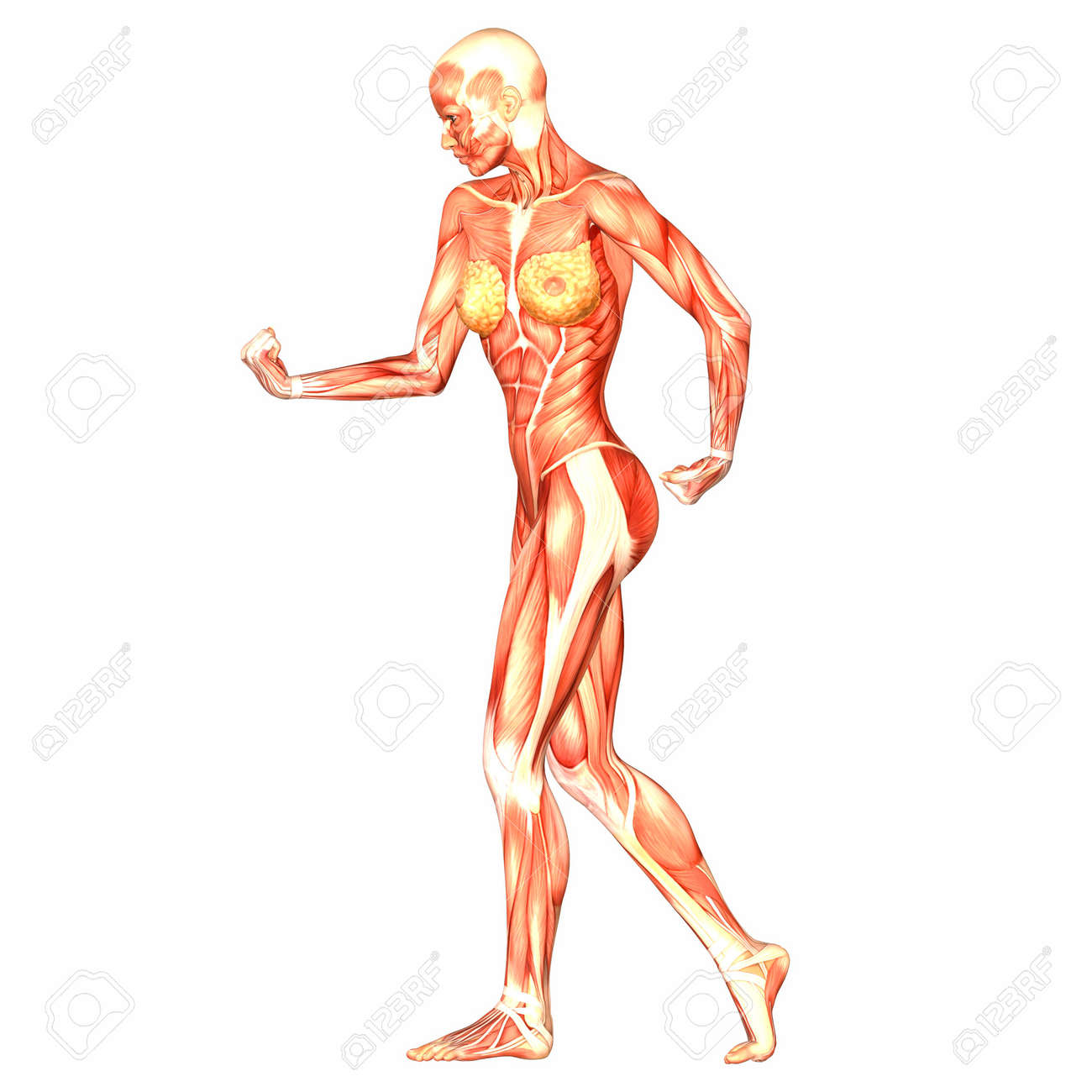Illustration Of The Anatomy Of The Female Human Body Isolated ...
