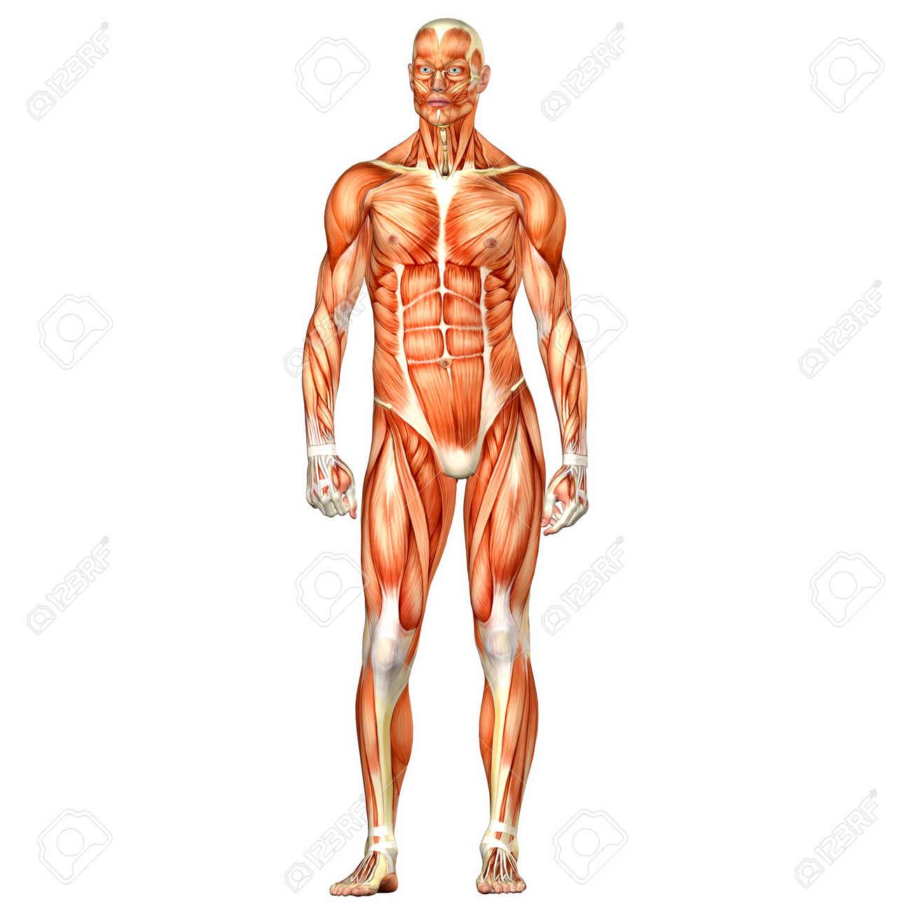 Ilustración De La Anatomía Del Cuerpo Humano Masculino Aislado En Un ...