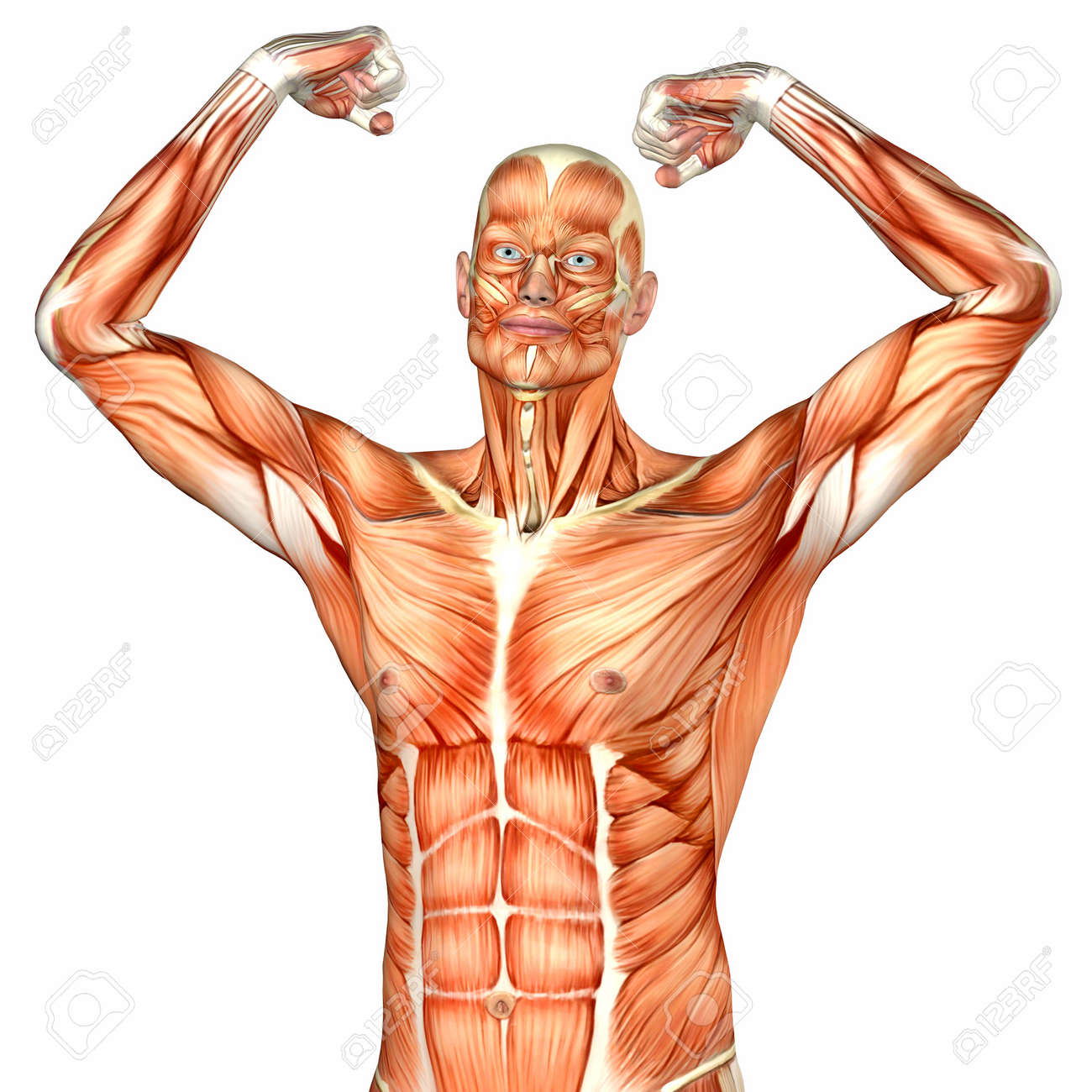 Illustration Of The Anatomy Of The Male Human Upper Body Isolated ...