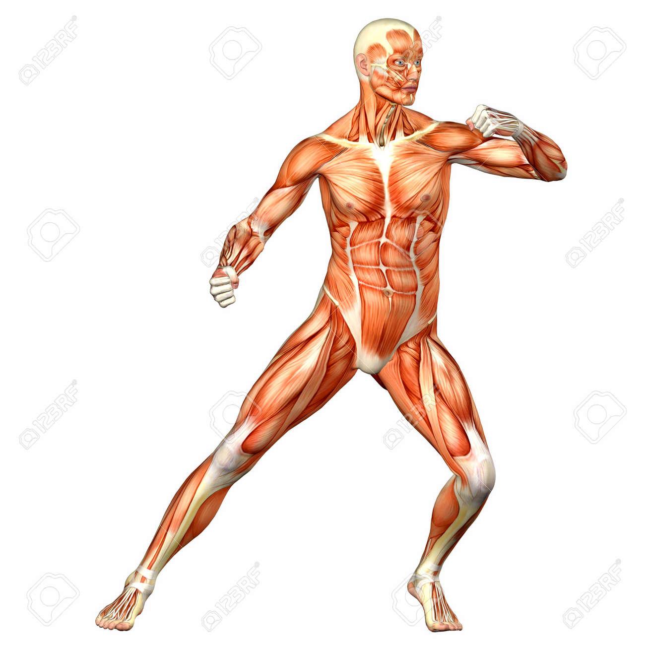 Illustratie Van De Anatomie Van Het Mannelijk Menselijk Lichaam ...