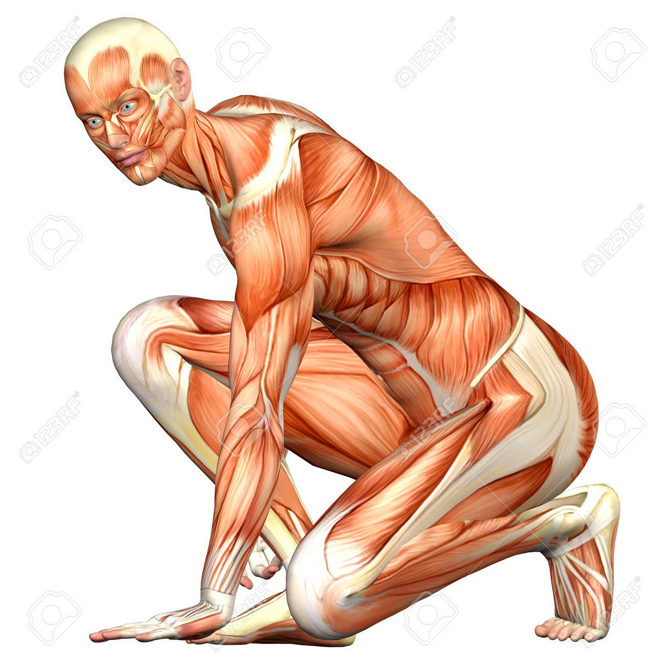 Physiology Stock Photos Royalty Free Physiology Images