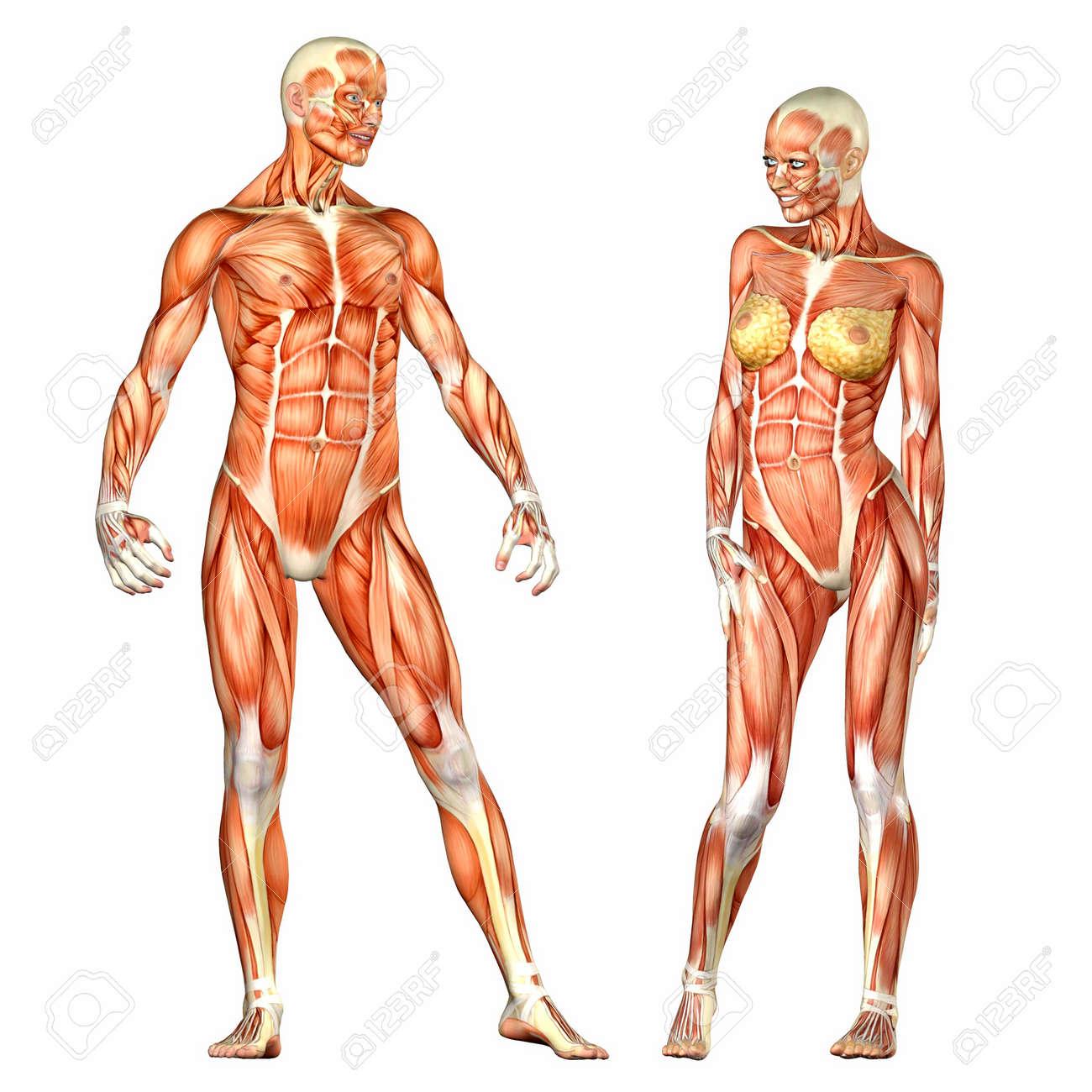 Illustratie Van Een Mannelijke En Vrouwelijke Menselijke Anatomie ...