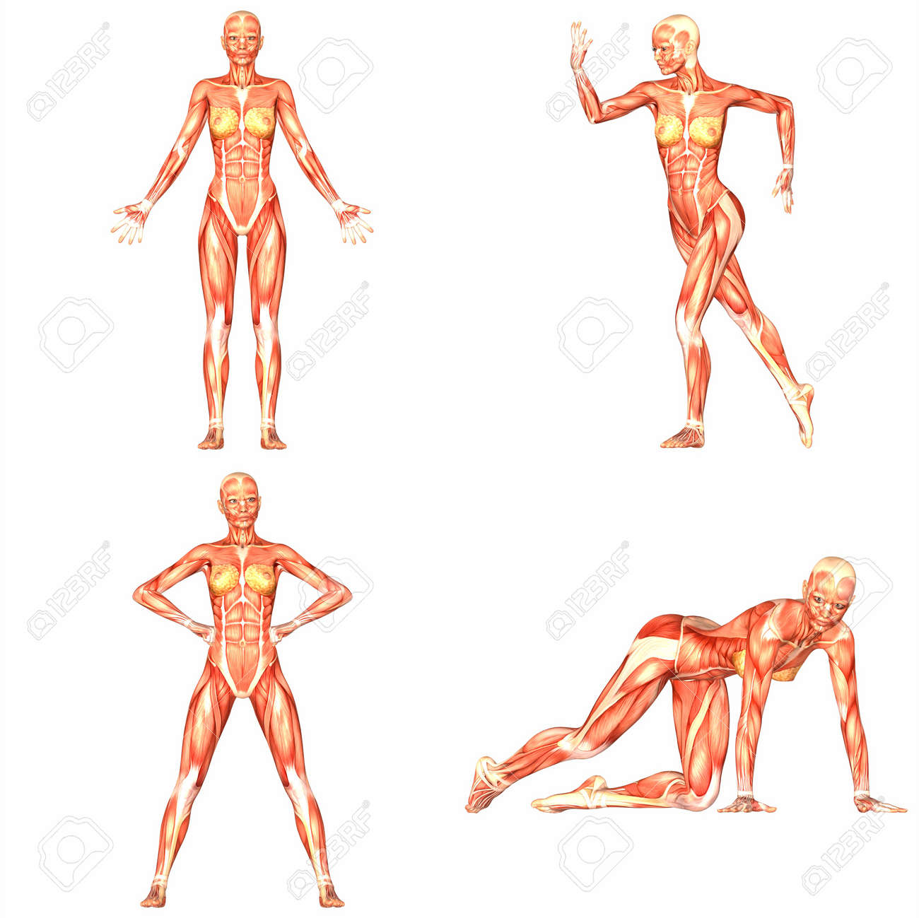 Female Human Body Anatomy Pack 4of5 Stock Photo Picture And