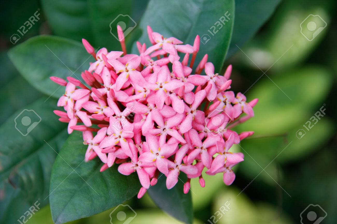 Beautiful pink ixoras flower west indian jasmine flower on its beautiful pink ixoras flower west indian jasmine flower on its plant stock photo 23798903 izmirmasajfo