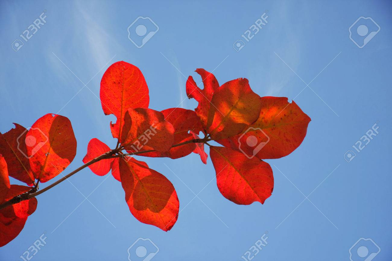 red bengal almond leaves with blue sky in bright day Stock Photo - 25512049