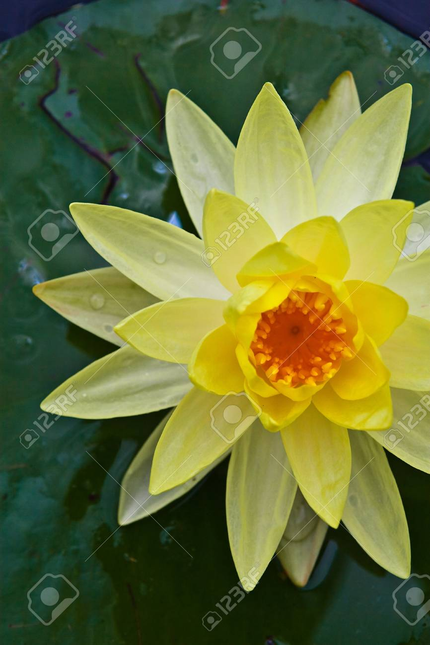 Yellow Lotus Stock Photo - 10682921