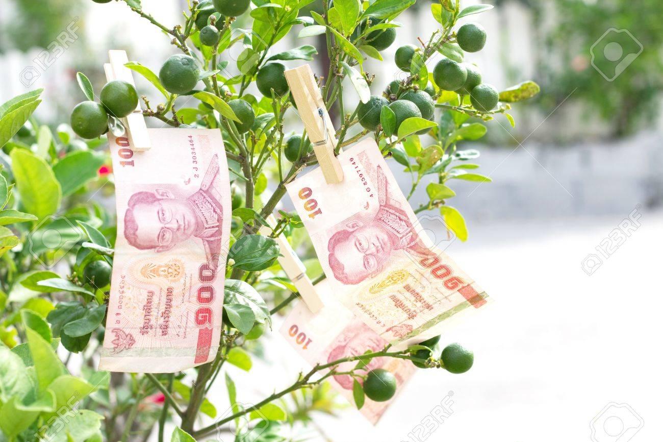 100 baht thai money on tree lemon Stock Photo - 16562279