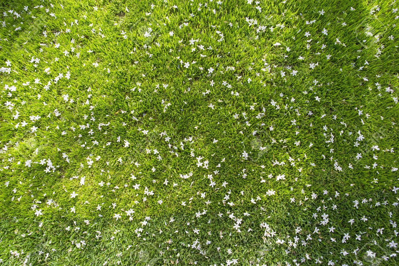 Many white small flowers in top view of grass texture stock photo many white small flowers in top view of grass texture stock photo 39650723 mightylinksfo
