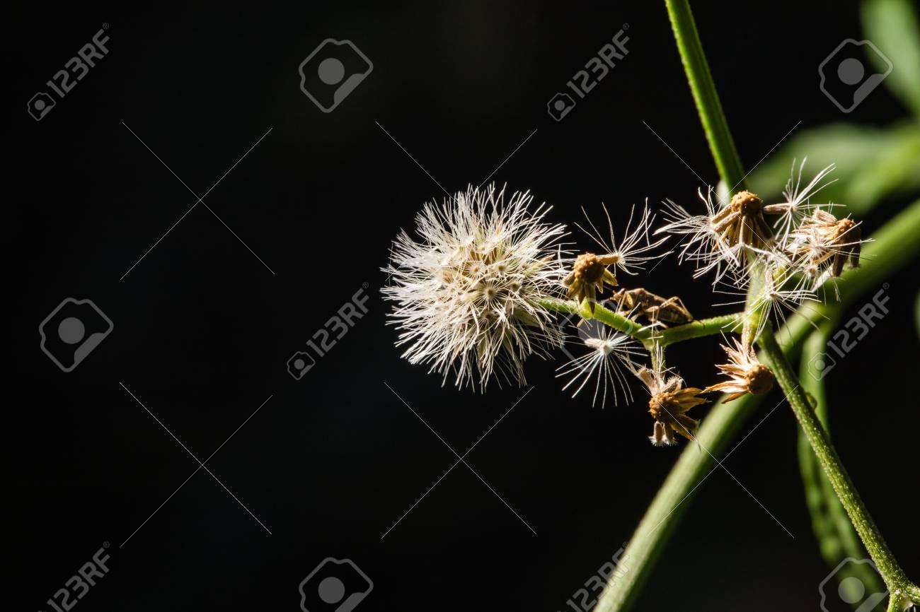 Macro shot of beautiful white dandelion flowers in forest with macro shot of beautiful white dandelion flowers in forest with dark background low key photo mightylinksfo