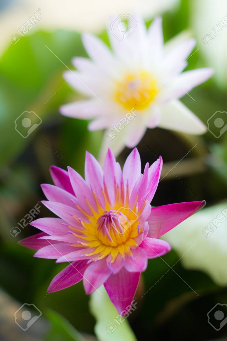 Pink lotus on the lake in Thailand Stock Photo - 15066522