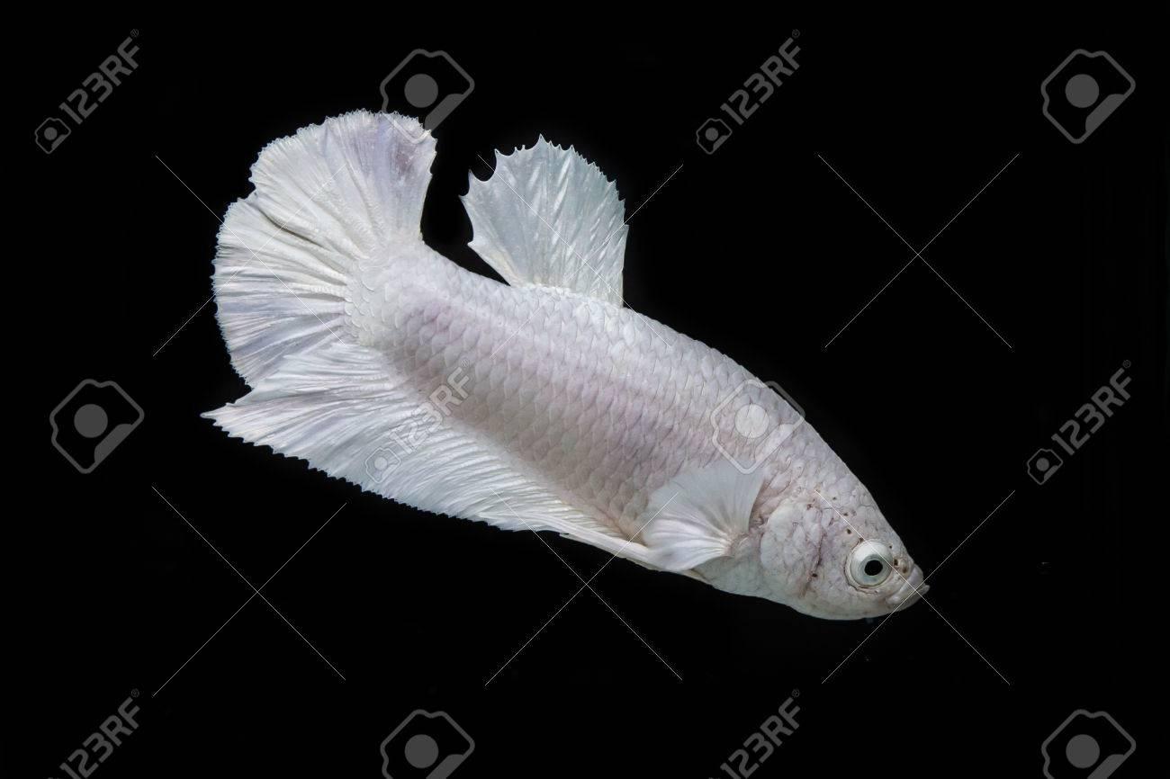 siamese fighting fish, betta fish on black background Stock Photo - 25951073