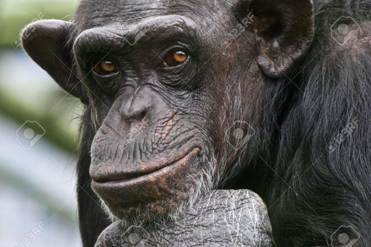 Sad Chimpanzee thinking about his life - 14788891