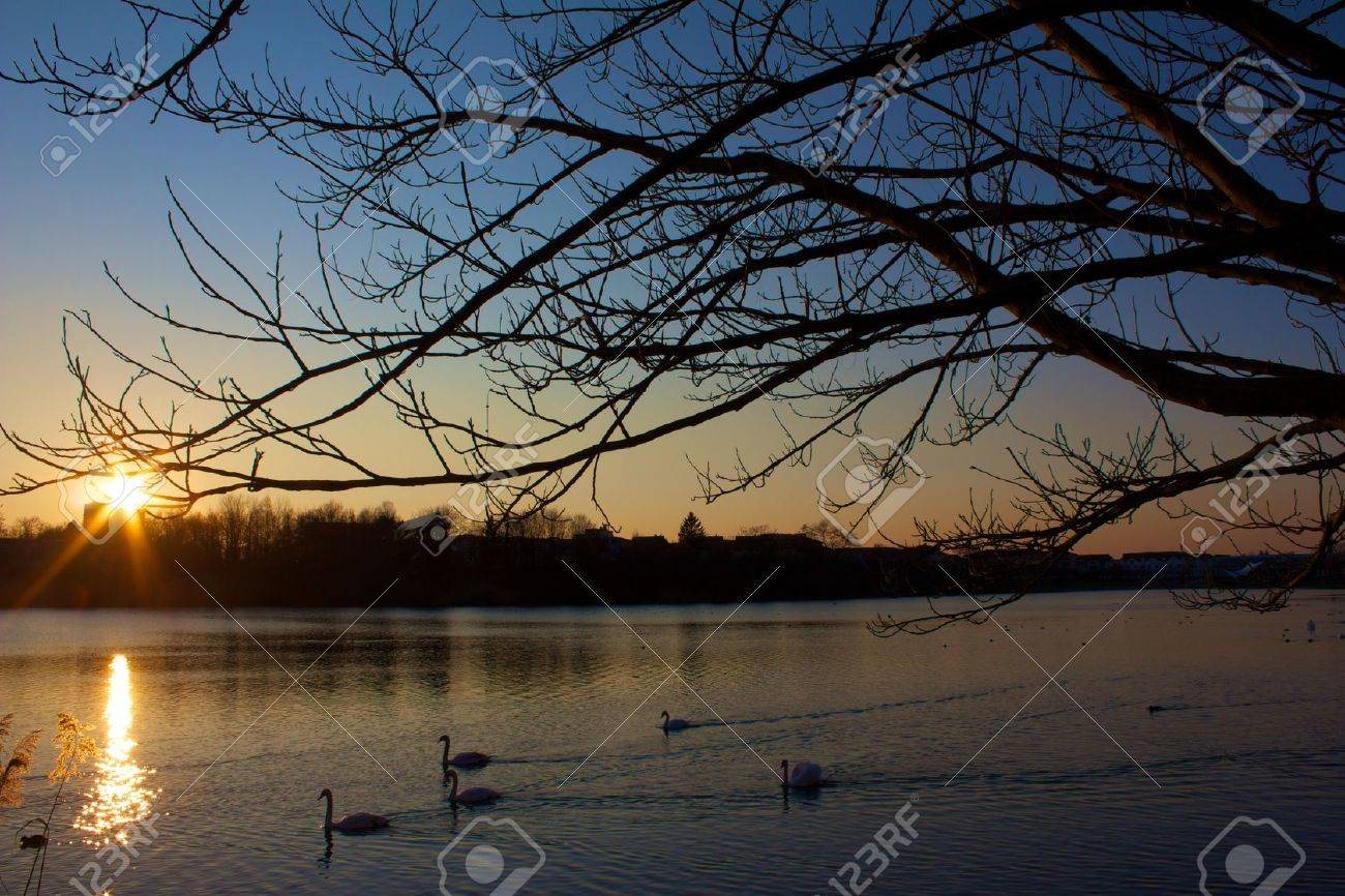 Lake scene of swans and ducks swimming back to their resting places for the night Stock Photo - 15395946
