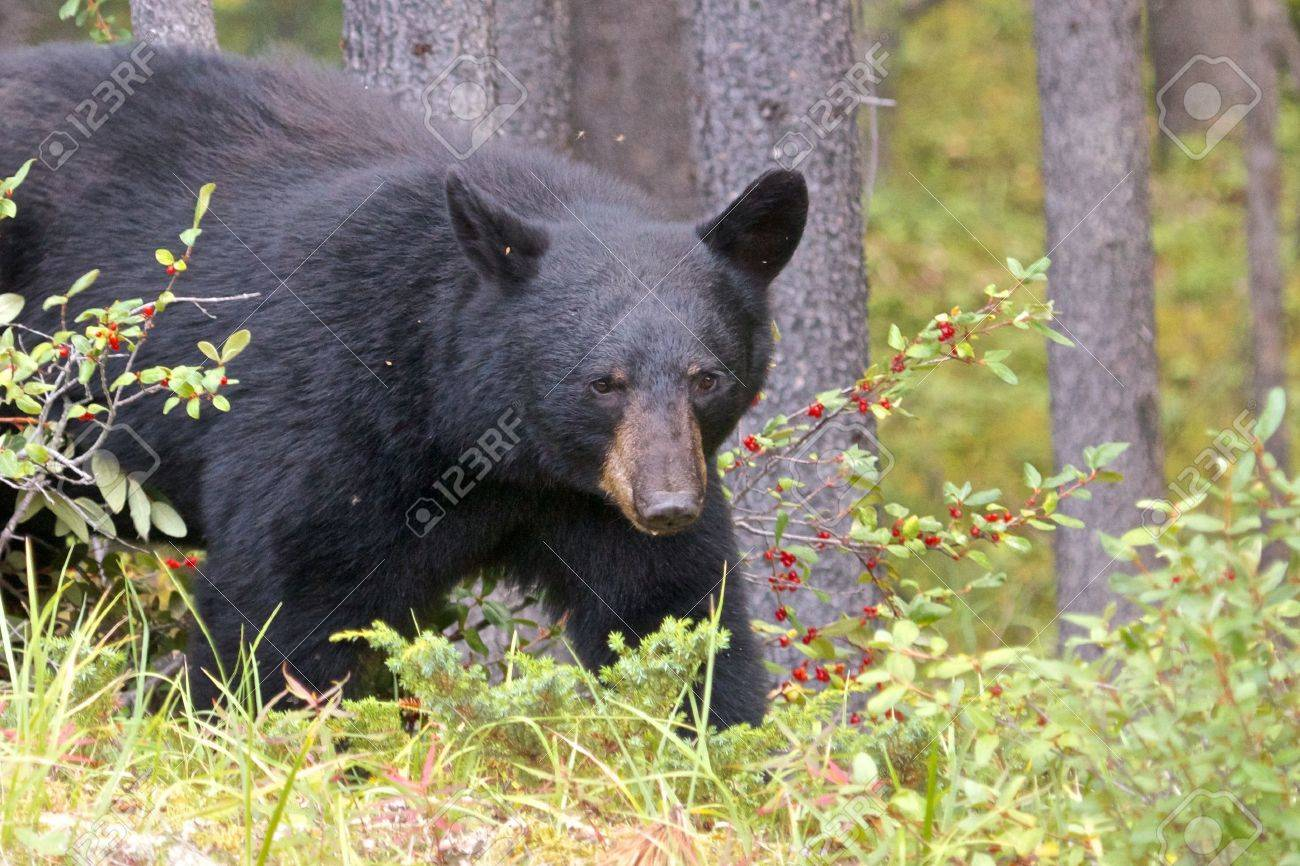 Canadian Black Bear hunting for berries in the woods of Jasper national park - 15431192