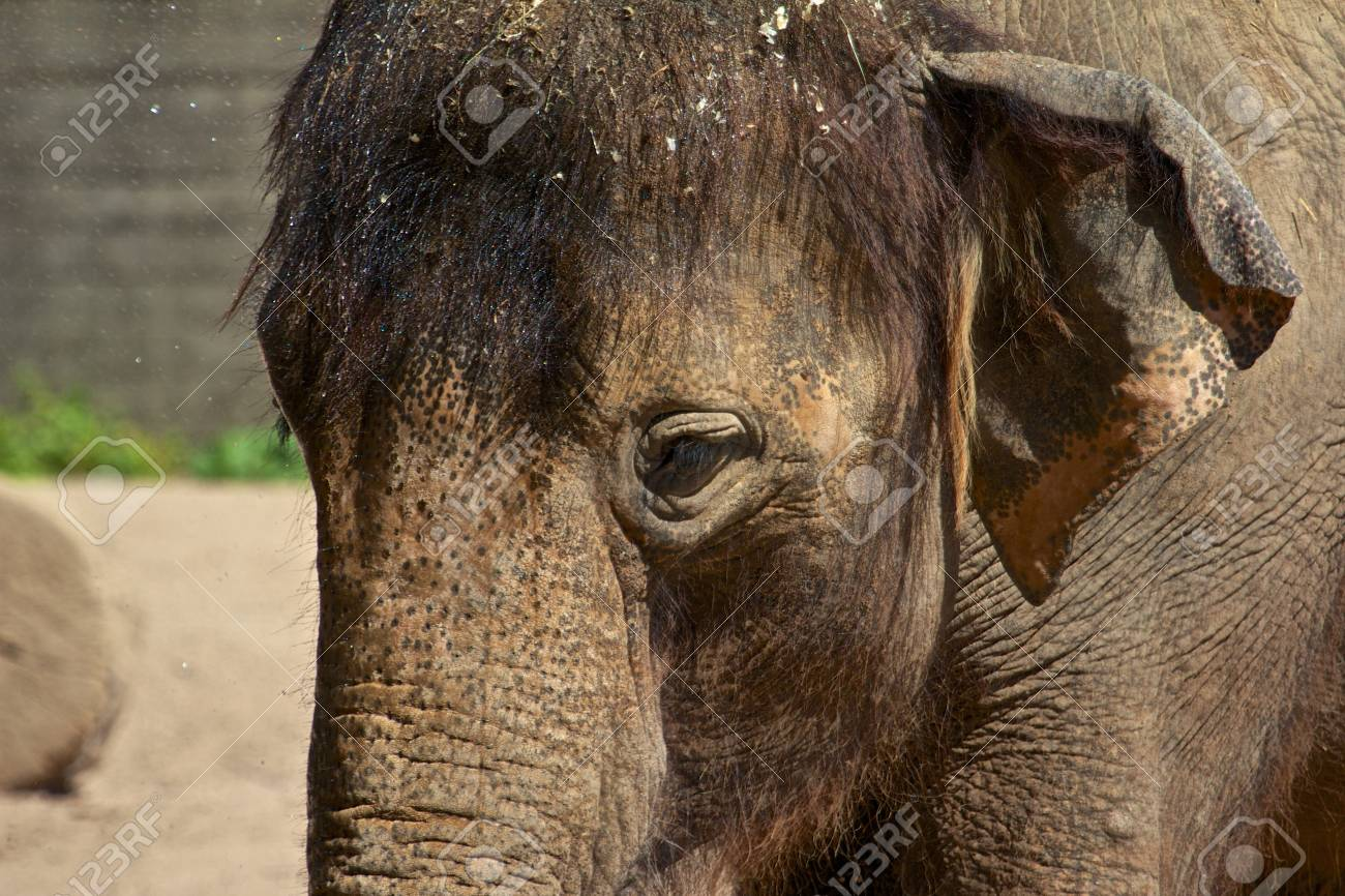 Young Asian Elephant being sprayed water at to enjoy the summer heat of Karlsruhe Zoo, Germany Stock Photo - 15567765