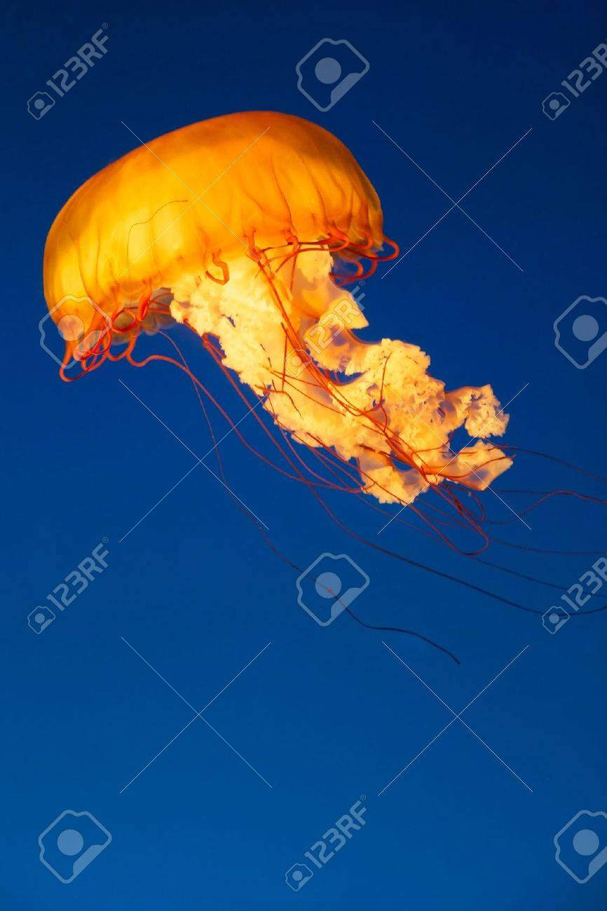 Colorful and glowing sea nettle jellyfish swimming in the dep blue sea - 16603553