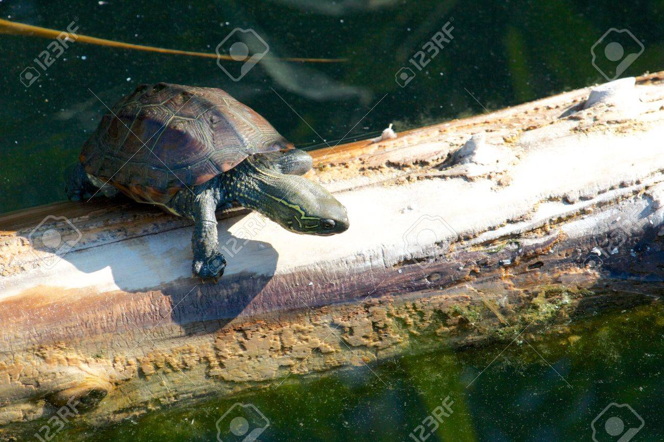 Young snapping turtle slowly climbing an old tree trunk in the water Stock Photo - 17336320